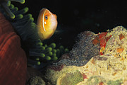 Caroline Islands Prints - A Clownfish Guards Its Nest Of Eggs Print by Heather Perry