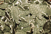 Green Sea Turtle Photos - A Cluster Of Baby Green Sea Turtles by Tim Laman
