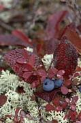 Physiology Art - A Cluster Of Blueberries Among Lichens by Norbert Rosing