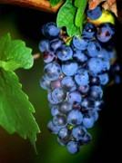 Clusters Of Grapes Prints - A Cluster Of Cab Print by Laurel Sherman