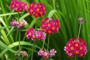 A Cluster Of Candelabra Primula Flower Print by Darlyne A. Murawski