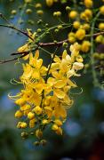 Cassia Blossoms Framed Prints - A Cluster Of Flowers Cascades Framed Print by Jason Edwards