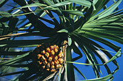 Palm Trees Fronds Prints - A Cluster Of Fruit In A Palm Tree Print by Tim Laman
