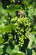 Grapevines Photos - A Cluster Of Green Grapes Grow by David Pluth