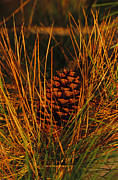 Pine Cones Posters - A Cluster Of Long Leaf Pine Needles Poster by Raymond Gehman