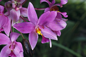 Caroline Islands Prints - A Cluster Of Purple Orchids Print by Tim Laman