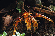 Survival Prints - A Coconut Crab In The Phoenix Islands Print by Nick Norman