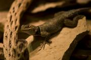 Desert Dome Photos - A Collard Lizard From The Henry Doorly by Joel Sartore
