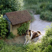 Hardware Posters - A Collie Relaxes Next To Its Doghouse Poster by Rex A. Stucky