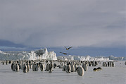 Featured Art - A Colony Of Emperor Penguins Convenes by Maria Stenzel