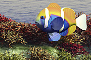 Tropical Fish Posters - A Colorful Clownfish Swims Among Poster by Corey Ford
