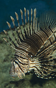 Lion Fish Posters - A Common Lion Fish With Colorful Poster by Jason Edwards