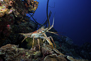 Crustacean Art - A Common Spiny Lobster Backs His Way by Terry Moore