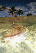 Atlantic Beaches Framed Prints - A Conch Shell Rests Beneath The Clear Framed Print by Michael Melford