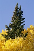 Fir Trees Photos - A Conifer Tree Towers Above Aspens by David Edwards
