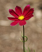 Wildflower Photos Prints - A Cosmos Stand  Print by Neal  Eslinger