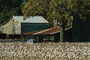 Cotton Fields Posters - A Cotton Field Surrounds A Small Farm Poster by Medford Taylor
