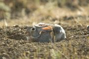 Lewistown Prints - A Cottontail Rabbit At Charles M Print by Joel Sartore