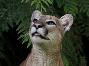 Bobcat Photos - A Cougar Moment by Athena Mckinzie