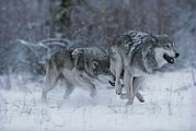 Canis Lupus Prints - A Couple Of Gray Wolves, Canis Lupus Print by Jim And Jamie Dutcher