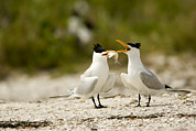 Feeding Photographs Prints - A Courting Caspian Tern Caspian Tern Print by Tim Laman