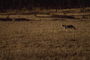 In Solitary Prints - A Coyote Hunts For Prey In A Meadow Print by Gordon Wiltsie