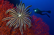 Whip Posters - A Crinoid On A Bright Red Sea Fan Poster by Steve Jones
