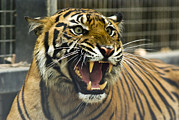The Tiger Metal Prints - A Critically Endangered Sumatran Tiger Metal Print by Jason Edwards
