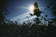 Cotton Fields Posters - A Crop Duster Spraying A Cotton Field Poster by Kenneth Garrett