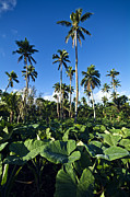 Tonga Framed Prints - A Crop Of Taro Plants Growing Framed Print by Jason Edwards