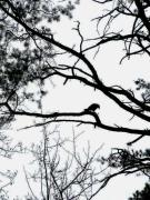 Black And White Photography Pyrography Metal Prints - A crow shook down on me the dust of snow Metal Print by Fareeha Khawaja