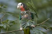 Amazon Parrot Posters - A Cuban Amazon Amazona Leucocephala Poster by Joel Sartore