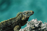 Lizards Photos - A Cuban iguana, Cyclura by National Geographic