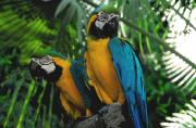 Tropical Birds Art - A curious pair by David Lee Thompson