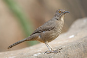 Desert Dome Photos - A Curve-billed Thrasher Toxostoma by Joel Sartore