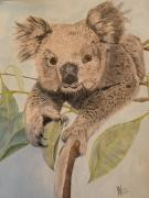 Alan Webb - A Cute Koala Bear