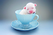 Crest Posters - A Cute Teacup Puppy Poster by Amy Lane Photography