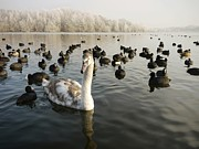 A Cygnets First Winter Print by John Chatterley