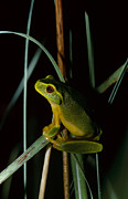 Granular Framed Prints - A Dainty Green Tree-frog Climbing Framed Print by Jason Edwards