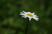 Nature Photograph Posters - A Daisy Distant Past Poster by Neal  Eslinger