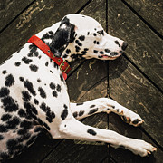 Dalmatian Dog Prints - A Dalmatian Sleeping On A Wooden Deck Print by © Randall Murrow