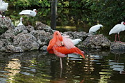 Pink Flamingo - A Day At The Pond by Carmen Del Valle