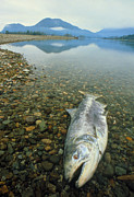 Spawning Prints - A Dead Chinook Salmon Seen Shortly After Spawning Print by David Nunuk