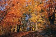 Autumn Views Prints - A Deciduous Forests Shows Off Its Fall Print by Clarita Berger