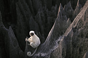 A Deckens Sifaka Lemur In The Grand Print by Stephen Alvarez