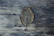 Hoh Valley Posters - A Decomposing Leaf Sits On A Log Poster by Sam Abell