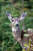 Runs Framed Prints - A Deer Eats A Mouthful Of Leaves While Framed Print by Taylor S. Kennedy