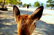 Miyajima Framed Prints - A Deers Point of View Framed Print by Dean Harte