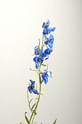 Blue Delphinium Photos - A Delphinium Delphinium Belladona by Joel Sartore
