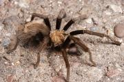 Tarantula Prints - A Desert Tarantula Spider Crawling Print by George Grall